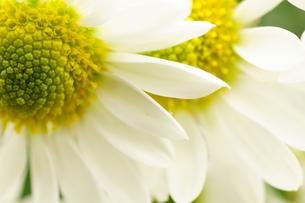 小菊の花びらの写真素材 [FYI00171420]