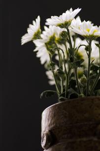 菊の花の写真素材 [FYI00171428]