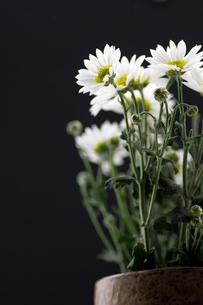 菊の花の写真素材 [FYI00171430]