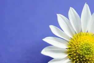 小菊の花びらの写真素材 [FYI00171431]