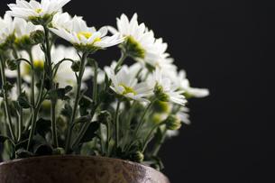 菊の花の写真素材 [FYI00171443]