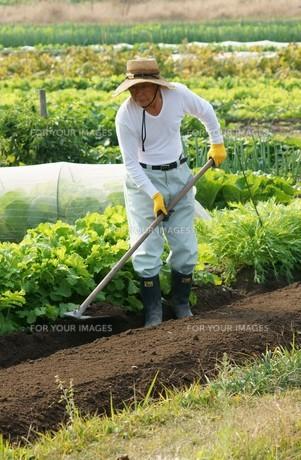 畑仕事をする男性の写真素材 [FYI00171488]