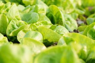 サラダ菜の写真素材 [FYI00171538]