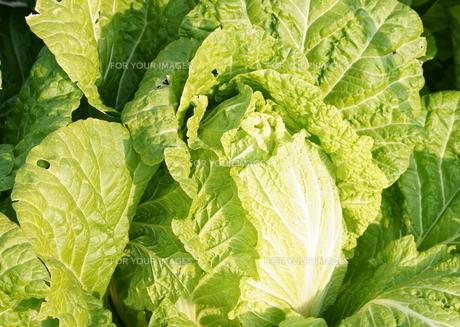 白菜の写真素材 [FYI00171539]