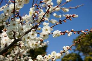 梅の花の写真素材 [FYI00171568]