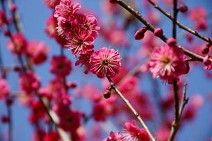 梅の花の写真素材 [FYI00171573]