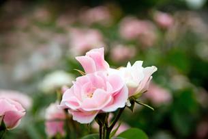 薔薇の写真素材 [FYI00171616]