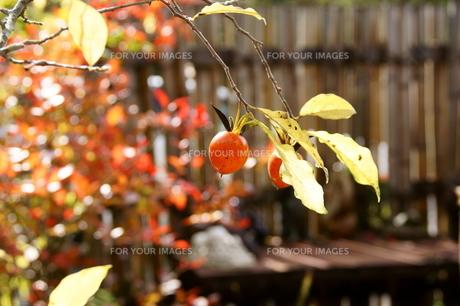 柿の素材 [FYI00171652]