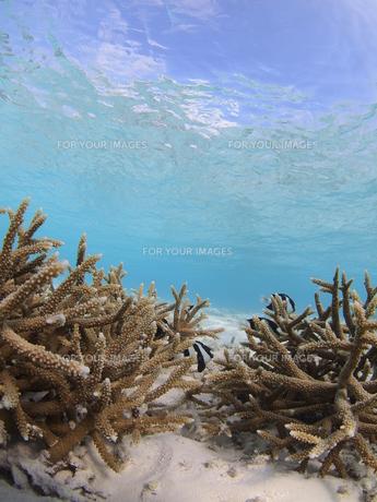 浅場のサンゴの写真素材 [FYI00171907]