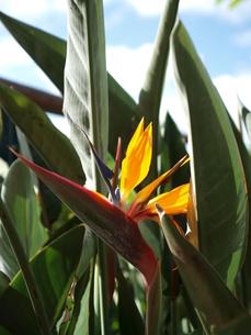 ストレリチア・レギーネの花の写真素材 [FYI00171922]