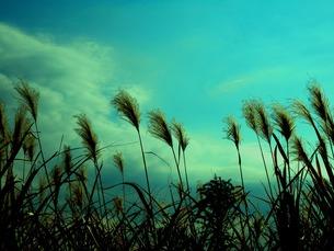 ススキと青空の写真素材 [FYI00172029]