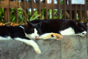 うたた寝する兄弟猫の写真素材 [FYI00172096]