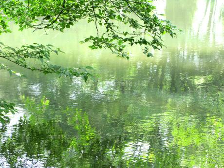 朝の新緑の水面の写真素材 [FYI00172170]