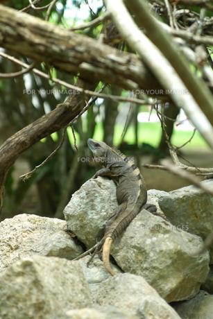 岩の上のイグアナの写真素材 [FYI00172304]