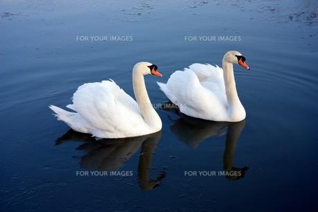 白鳥の写真素材 [FYI00172373]