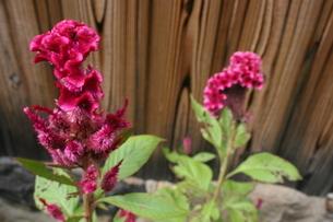 赤い花の写真素材 [FYI00172400]