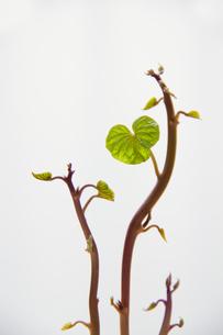 ハートの葉っぱの写真素材 [FYI00173294]