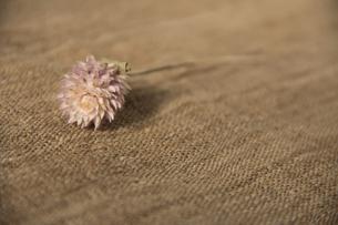 小さい花の写真素材 [FYI00173317]