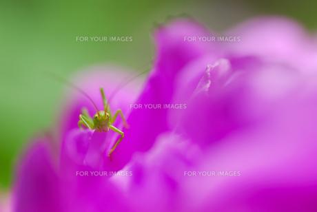 花びらからこんにちはの写真素材 [FYI00173440]