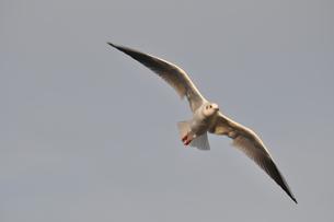 飛び回るユリカモメの写真素材 [FYI00173456]