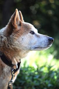 見つめる犬の写真素材 [FYI00173464]