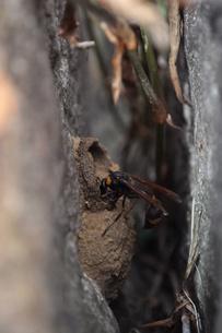 蜂の巣作成中の写真素材 [FYI00173517]