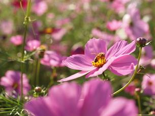 ミツバチとコスモスの写真素材 [FYI00173663]