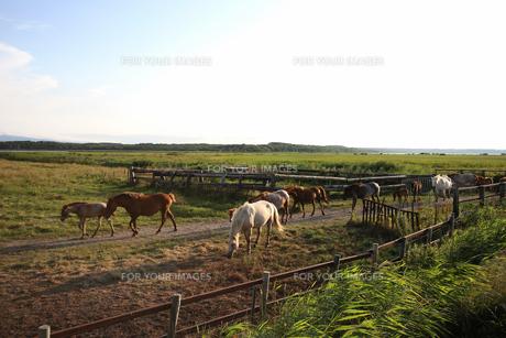 牧場を歩く馬の群れの写真素材 [FYI00173693]
