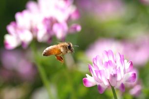 【ミツバチとレンゲ】の写真素材 [FYI00173739]