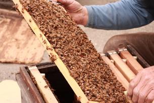 【養蜂】の写真素材 [FYI00173745]
