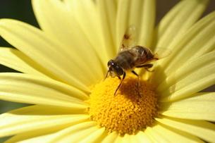 【ミツバチとユリオプスデージー】の写真素材 [FYI00173747]