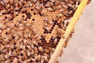 【養蜂】の写真素材 [FYI00173749]