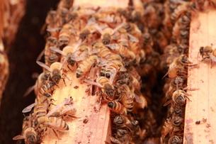 【養蜂】の写真素材 [FYI00173757]