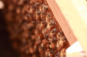 【養蜂】の写真素材 [FYI00173758]