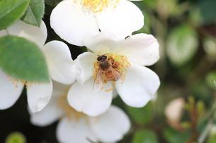【ミツバチと野バラ】の写真素材 [FYI00173782]