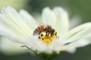 【ミツバチとイエローガーデン】の写真素材 [FYI00173787]