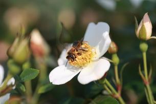 【ミツバチと野バラ】の写真素材 [FYI00173789]
