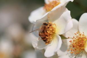 【ミツバチと野バラ】の写真素材 [FYI00173791]