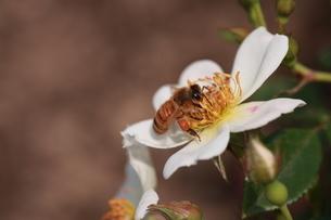 【ミツバチと野バラ】の写真素材 [FYI00173792]
