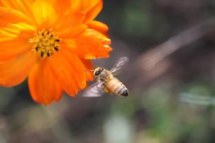 【ミツバチとキバナコスモス】の写真素材 [FYI00173794]