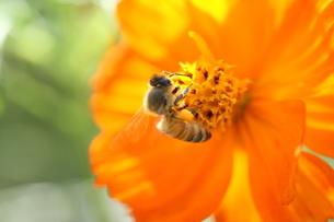 【ミツバチとキバナコスモス】の写真素材 [FYI00173795]