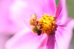 【ミツバチとコスモス】の写真素材 [FYI00173799]