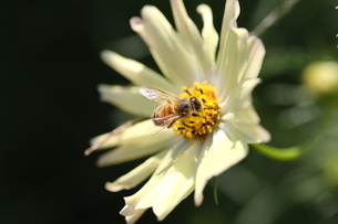 【ミツバチとイエローガーデン】の写真素材 [FYI00173800]