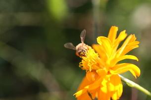 【ミツバチとキバナコスモス】の写真素材 [FYI00173801]