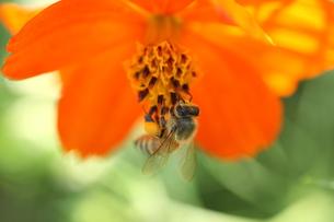 【ミツバチとキバナコスモス】の写真素材 [FYI00173802]