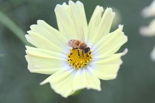 【ミツバチとイエローガーデン】の写真素材 [FYI00173803]