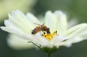 【ミツバチとイエローガーデン】の写真素材 [FYI00173807]