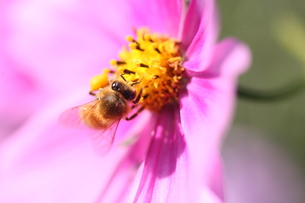 【ミツバチとコスモス】の写真素材 [FYI00173809]
