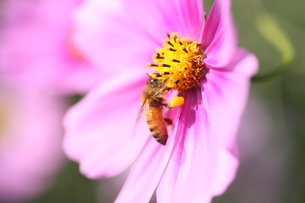 【ミツバチとコスモス】の写真素材 [FYI00173810]