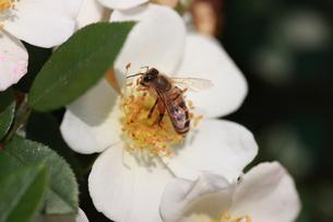 【ミツバチと野バラ】の写真素材 [FYI00173811]